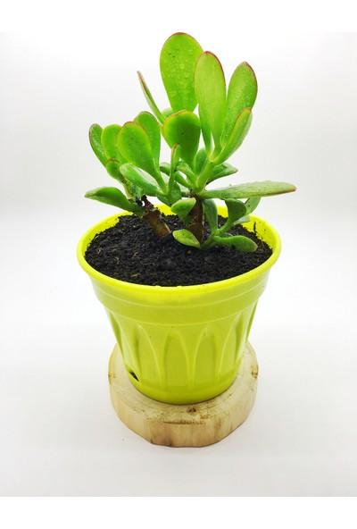 Agro Tohum Crassula Ovata Para Ağacı Çiçeği 2 Yaşında