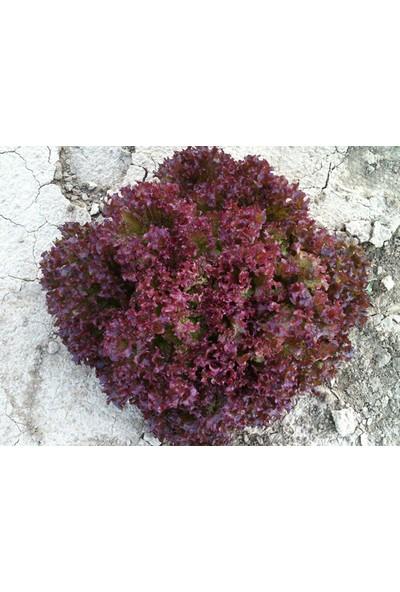 Arzuman Kırmızı Kıvırcık Marul (İthal) Marul 5 Gram