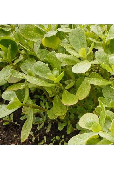 Arzuman Semizotu (İri Yapraklı) 10 Gram