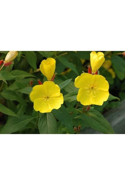 Arzuman Ezan Çiçeği (oenothera) 100 Adet