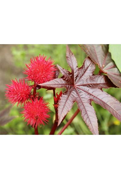 Arzuman Kene Çiçeği (Rıcınus Communıs) 5 Adet