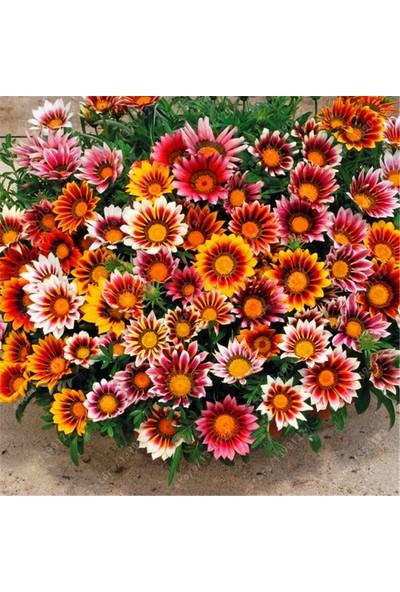 Arzuman Meramlı Kız Çiçeği (Gazanıa) 20 Adet