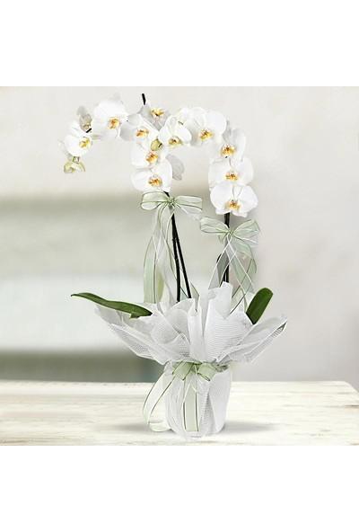 LezzetliÇiçek WhitePrincess - Çift Dallı Orkide