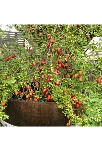 Berke Fidancılık Avusturalya Blood-Kırmızı Lime Limon Fidanı Nadir Çeşit 5 Yaşlı Tüplü