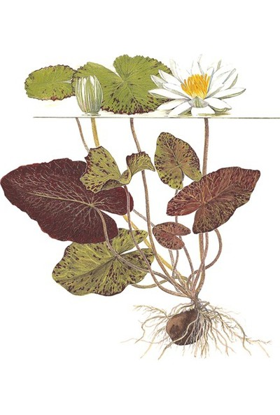 Akvaryumbitkileri Nymphaea rubra bulb - Lotus Soğanı