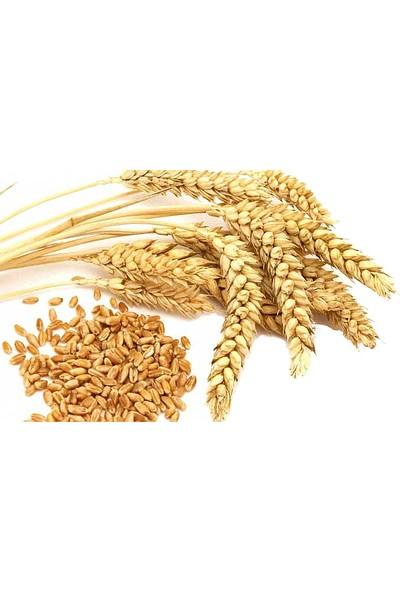 Tısserand Buğday (Wheatgerm) Yağı 100 Ml Organik Ve Saf