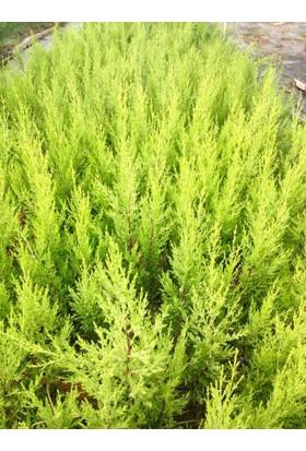 Tunç Botanik Limoni Servi 50 Adet - Aşılı Çit Bitkileri (Sarı Renkli)