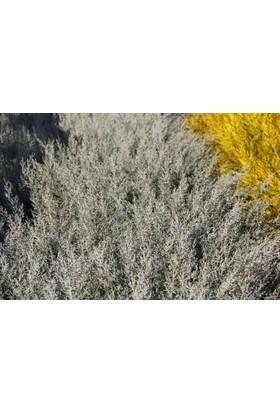 Tunç Botanik Mavi Servi - Aşılı Çit Bitkileri