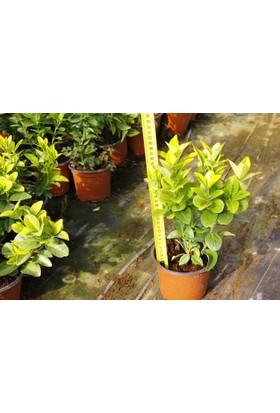 Tunç Botanik Gold Taflan 20 Adet Paket - Sarı Çit Bitkisi