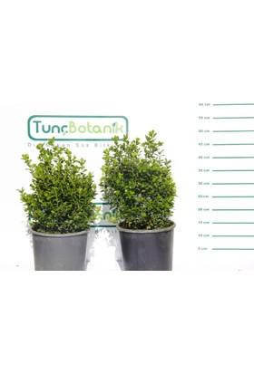 Tunç Botanik Şimşir 5 Adet Paket - Hızlı Büyüyen İthal Varyete Rotundifolia