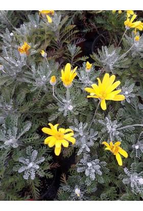 Tunç Botanik Sarı Papatya Euryops - 15 Adet Paket (Gerçek Fotoğraf)