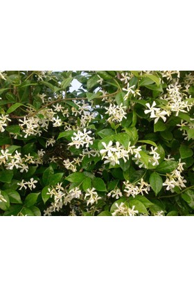 Tunç Botanik Arap Yasemini 10 Adet Paket - Çiçek Açan Sarılıcı Bitki