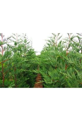 Tunç Botanik Yeşil Leylandi - Aşılı Çit Bitkileri 120 Cm