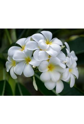 Plumeria Snow White 5 Tohum