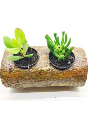 Crassula Ovata, Şans Para Ağacı, Crassula Gollum, Doğal Kütük Saksı