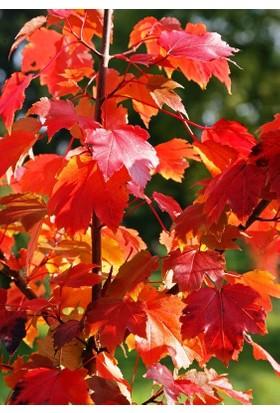 Kırmızı Akçaağaç (Acer Rubrum) 25 Tohum
