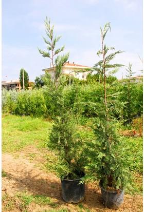 Tunç Botanik Yeşil Leylandi - 120 Cm Çit Bitkisi