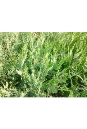 Tunç Botani̇K Yeşil Leylandi - Aşılı Çit Bitkisi - 10 Adet Paket