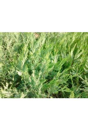 Tunç Botani̇K Yeşil Leylandi - Aşılı Çit Bitkisi - 30 Adet Paket