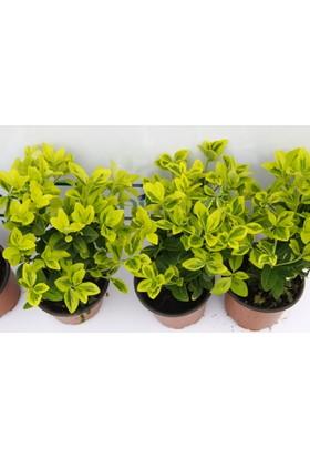 Tunç Botanik Gold Taflan - Sarı Çit Bitkisi 10 Adet Paket