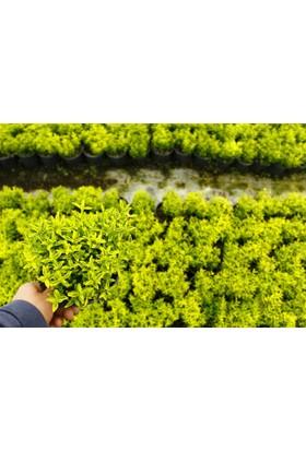 Tunç Botanik Altuni Çıtır Taflan - Sarı Çit Bitkisi - 10 Adet Paket