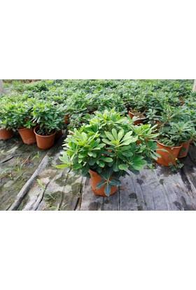 Tunç Botanik Pitosporum Yıldız Çalısı - Yer Örtücü Dış Mekan Bitkisi - 10 Adet Paket