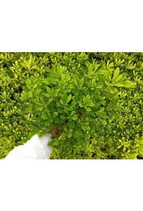 Tunç Botanik Pitosporum Yıldız Çalısı - Büyük Boy 5 Adet Paket
