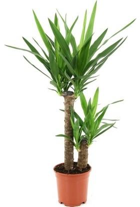 Yuka - Yucca Çiçeği / İki Gövdeli 70x100 cm