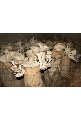 İstiridye Mantarı Tohumu ( Miseli ) 3000 gr