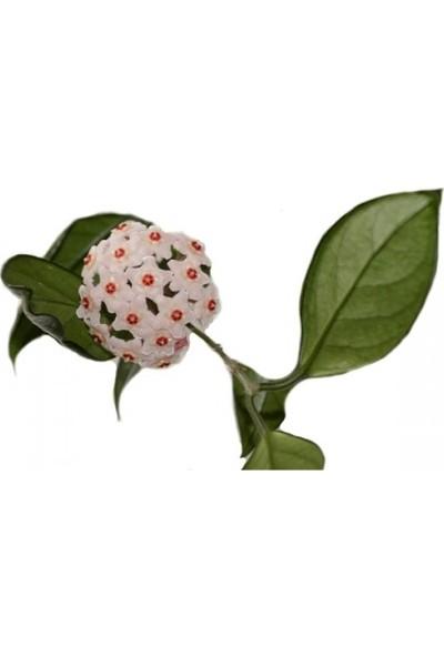 Mum Çiçeği / Hoya Carnosa