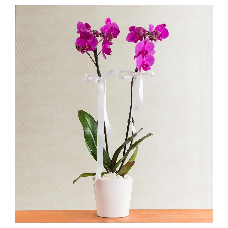 Evde büyüyen muhteşem phalaenopsis