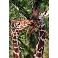 Jumbo Artis Giraffes, 1000 Parça Puzzle