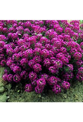Tohhum Kırmızı Alisso Yer Örtücü Çiçek Tohumu Tohhum Ev Bahçe