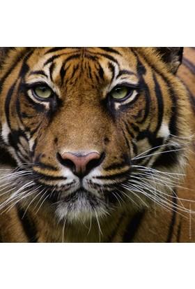 Heye 100 Parça Tiger (Mini Puzzle)