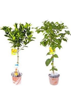 Plantistanbul Yediveren Limon Fidanı, Tüplü