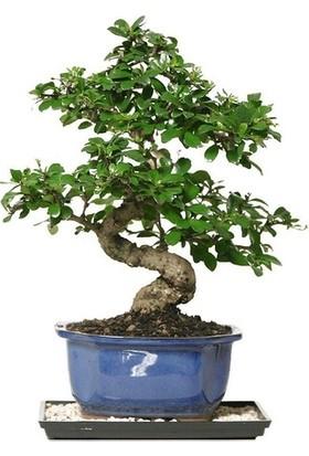 Bonsai Dünyası Ficus Bonsai Profesyonel Yetiştirme Seti - Herşey Dahil Bonsai Ekim Kiti