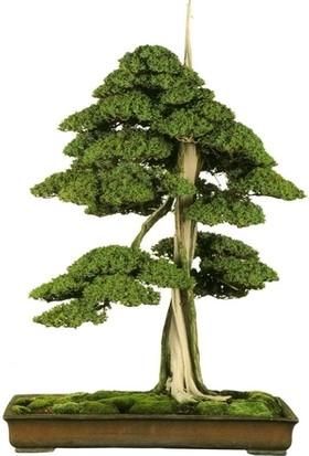 Bonsai Dünyası Juniperus Rigida Bonsai Profesyonel Yetiştirme Seti - Herşey Dahil Bonsai Ekim Kiti