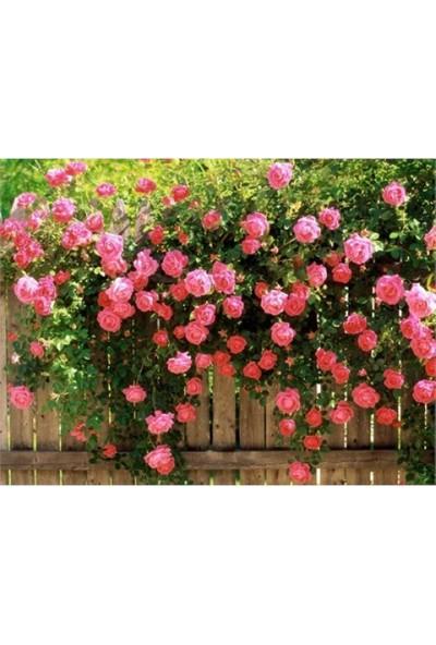 Sarmaşık Gülleri Renkleri