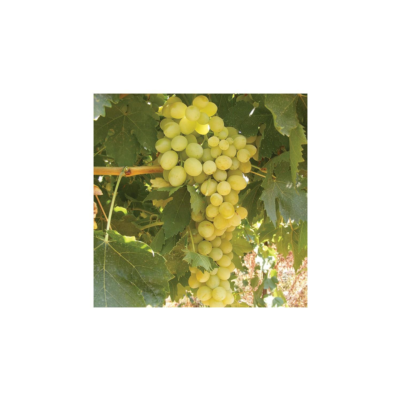 İyi üzüm çeşitleri: yorumlar, açıklama