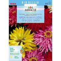 Miracle Tohum Miracle Karışık Krizantem Çiçekli Zinya Çiçeği Tohumu (150 tohum)