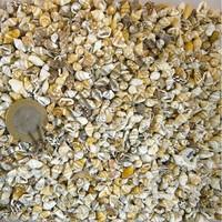 Turkuaz Natural Minik Deniz Kabukları Nassa Shell 1 - 1,5 cm 100 Gram