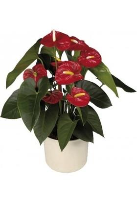 Karadeniz Fidancılık Antoryum Çiçeği