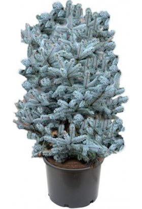 Aşılı Mavi Ladin