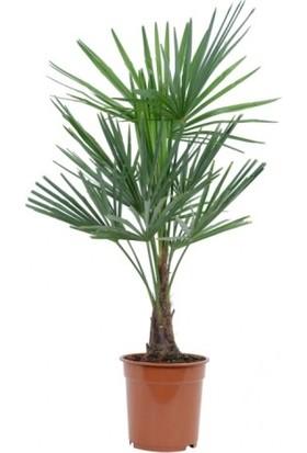 Palmiye Fidanı