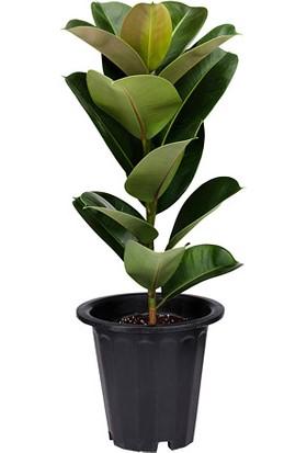 Ficus Çiçeği - Kauçuk 60x120 cm
