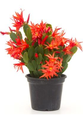 Karadeniz Fidancılık Yılbaşı Çiçeği Schlumbergera ( Yılbaşı Kaktüsü ) Kırmızı Renkli - Kargo Bedava