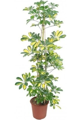 Şeflera Ev Bitkisi Tek Dallı 75x100 cm