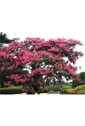 1001Fidan Lagerstroemia İndica Oya Ağacı