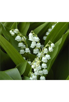 Convallaria majalis, Müge çiçeği, inci çiçeği Fidesi