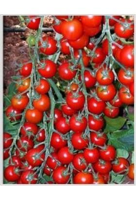 Yüksel Tohum Yeniçeri F1(Hibrit) Domates Tohumu(1000 tohum)